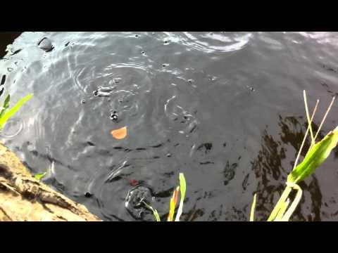 ikan sepat yang banyak kat telaga belakang rumah