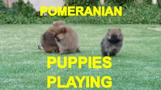 POMERANIAN PUPPIES PLAYING 1 - ACER