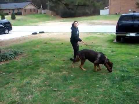 Small girl walks big dog