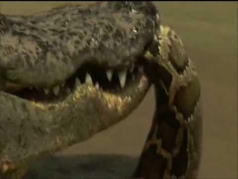 Crocodile vs Python Croc destroys big python.
