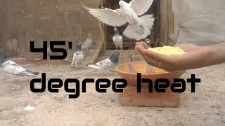 How to Protect Pigeons from the Heat in the summer - 45 degree heat, hot weathe - brown sugar water