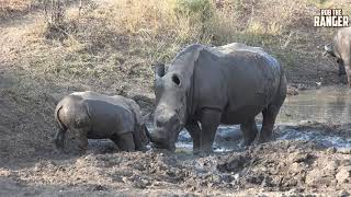 Fun In The Mud With White Rhino And A Cape Buffalo