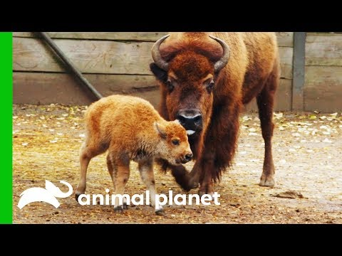 Newborn Baby Bison Gets Her First Medical Check Up The Zoo