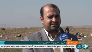 Iran Organic Saffron harvest, Taybad county برداشت زعفران شهرستان تايباد ايران