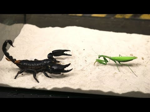 BRUTAL FIGHT OF THE MANTIS AND SCORPION VERSUS OF THE MANTIS THE AGAMA ATE THE LOCUST