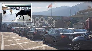 Ora News - Fluks në doganën e Morinës, të gjithë presin në rradhë përveç lopëve