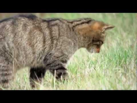 Gato Montés de caza y Zorro paseando