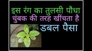Tulsi plant जब दिखने लगे तुलसी में ये चमत्कार समझो होगी पैसों की बरसात