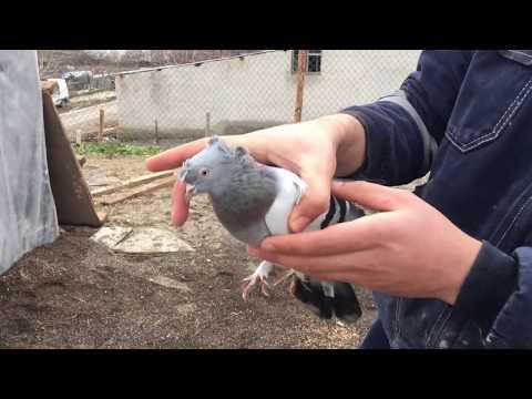 Taklacı Güvercinler Ankara