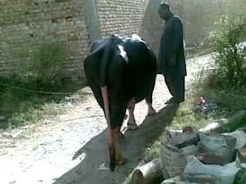 Xxx Mp4 KhoKhar Maira Qurbani Janwar BB Mp4 3gp Sex