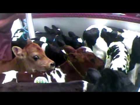 Animal Slaughter is NOT worst part VEGAN Meat Milk Cheese Egg Protein Cow Chicken McDonalds PETA