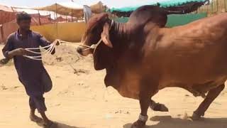 Karachi Sohrab Goth Studio Cow Mandi Video