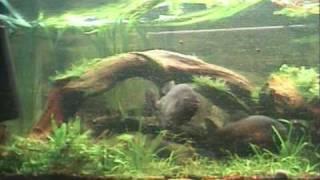 The life in piranna aquarium