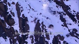 Rare footage - Snow Leopard drags Blue Sheep, falls off cliff, chasing it in Himachal mountains
