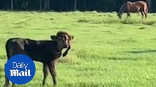 Calf born with a fifth leg on her head finds a forever home