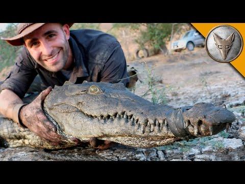 Crocodile Caught in Drainpipe!