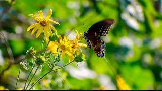 Spicebush Swallowtail Female on Cup Plant - Working the Flowers