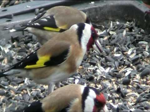 Goldfinch carduelis carduelis carduelis