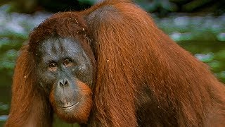 Hungry Orangutan Tries to eat Rocks   BBC Earth