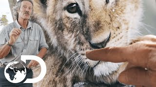 How To Differentiate Wild Lions | Big Cat Tales