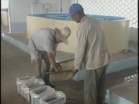 Aumenta producción de alevines de tilapia en Estación de La Sierpe