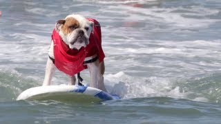 Dog Surfing Competition Will Make You Smile