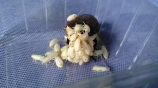 Madagascar Hissing Cockroach Full Birth