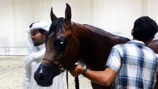 The legendary Arabian Horses at DIAHS 2014