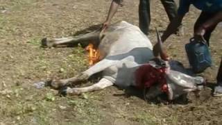 Cow Killing Nigeria.