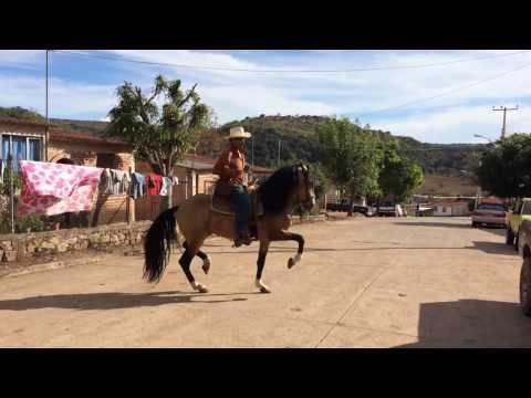 Caballo bailando El Bayo