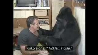 Koko the Gorilla with Robin Williams.mp4