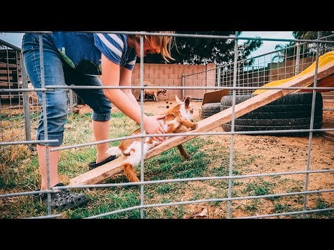 Our Baby Goat can't Figure out this Ramp, And It's The Cutest.
