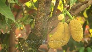 Jackfruit or Kathal tree in Manipur