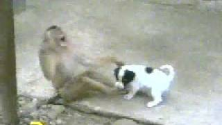 Monkey Laughing at Dog, after checking his P****