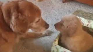 Golden Retriever Gets a Puppy for Christmas