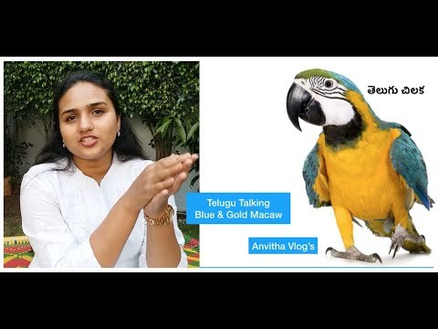 Xxx Mp4 My Indian Macaw Parrot Is Speaking In Telugu తెలుగు చిలక Telugu Talking Macaw Anvitha Vlogs 3gp Sex
