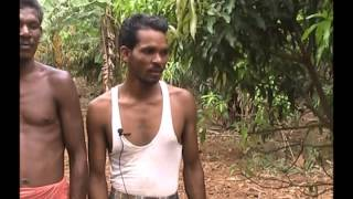 Local method of grafting in mango plant Odia PRAGATI Odisha