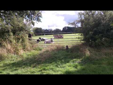 Mini dog taking on the cows. Well hard lol xxx