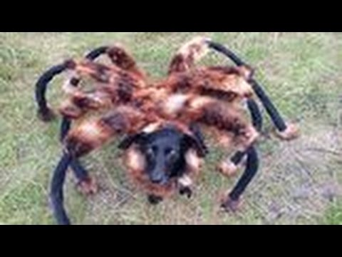 המיוחדים כל כלב מגיע יומו להיות עכביש