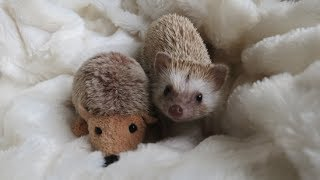 A day in the life of a Hedgehog !!!