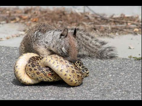 Squirrel vs Snake Real Fight