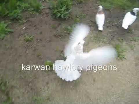 Kotri irani la swed pigeon from kurdistan in sweden