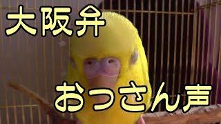【インコが飼いたくなる動画】声低くて大阪弁しゃべるインコ(suzu編)