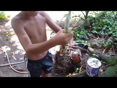 Emmanuel plantando bananeira.