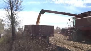 Corn Harvesting with a Case IH 1688 Combine in Saline michigan