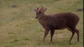 Muntjac deer grazing1 videvo