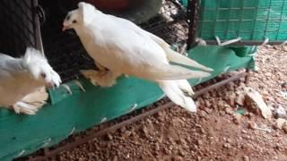 Fancy Indian pegion in maharashtra  (umesh patil)