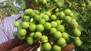 Cooking Turkey Berry Gravy In My Village - Sundakkai Kulambhu - Food Money Food