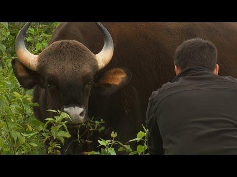 Xxx Mp4 Worlds Biggest Wild Cows Dangerous Gaur Of India 3gp Sex