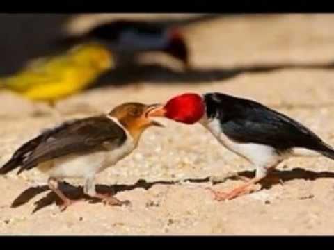 Aves do Brasil O Galo da Campina. Ouça o seu canto encantador